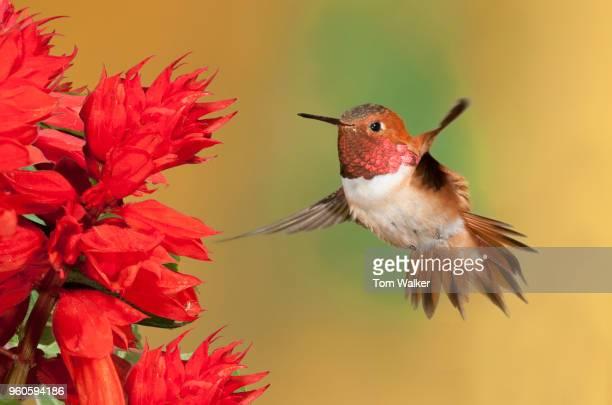 Hummingbird, Rufous, Canada