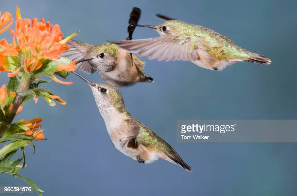 Hummingbird, Rufous, Female, Canada