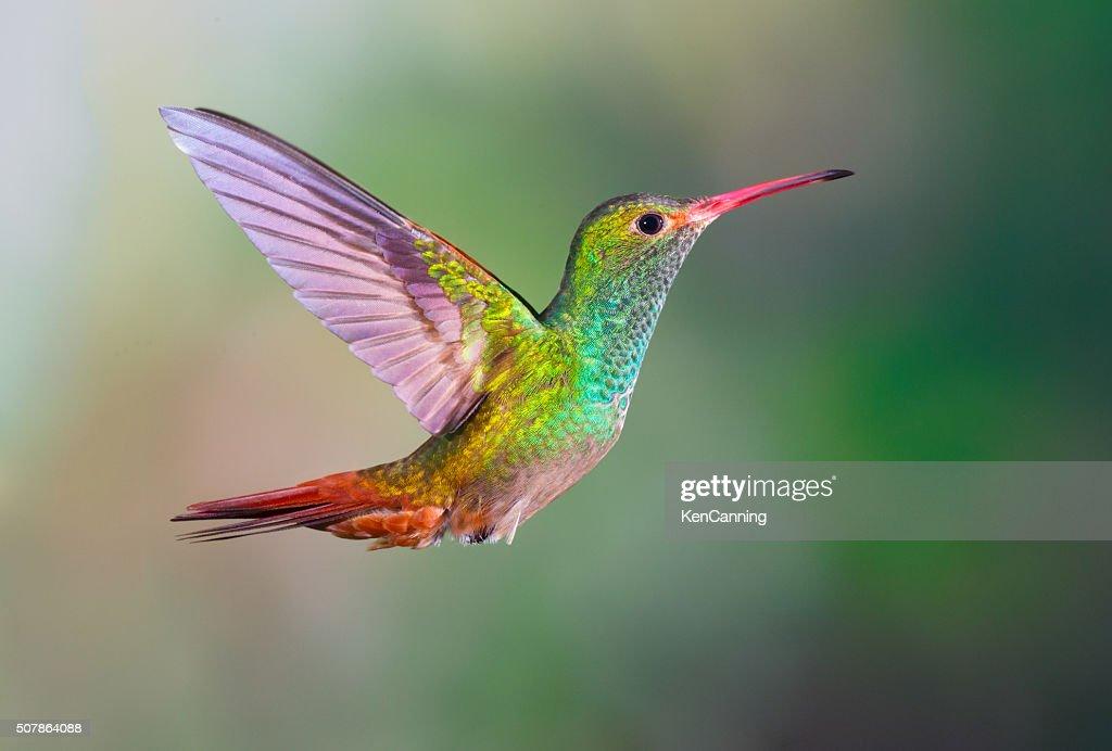 Rufous-tailed Hummingbird, : Stock-Foto