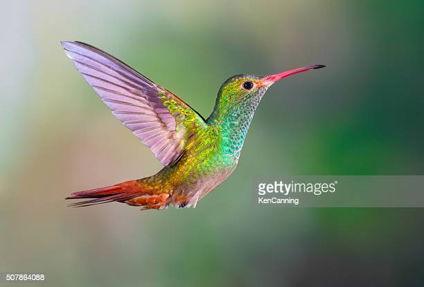 rufous-tailed hummingbird, - vogel stock-fotos und bilder