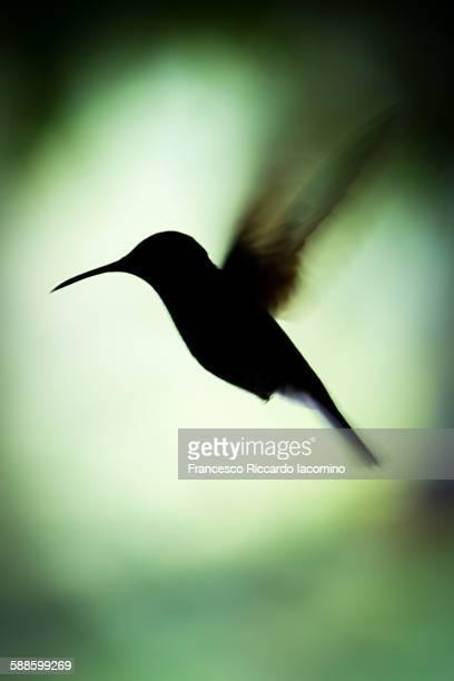 hummingbird silhouette - iacomino costa rica foto e immagini stock