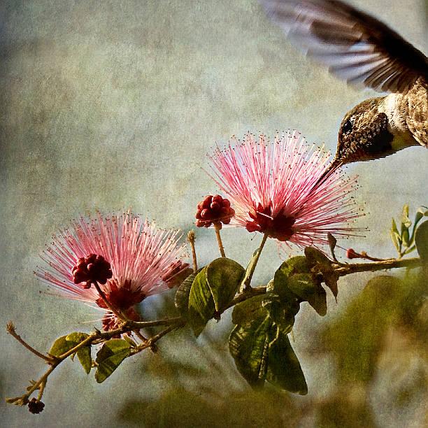 Hummingbird sips nectar from Mimosa flower