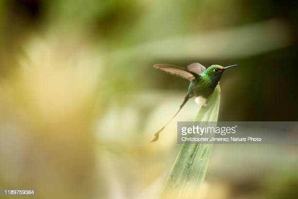 hummingbird sitting in leaf - christopher jimenez nature photo stock pictures, royalty-free photos & images