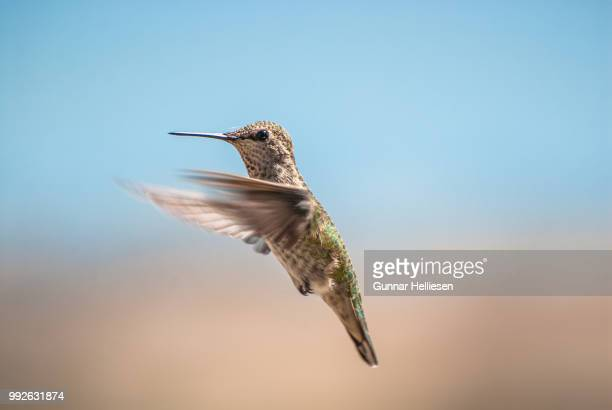 hummingbird take 2 - gunnar helliesen stock pictures, royalty-free photos & images