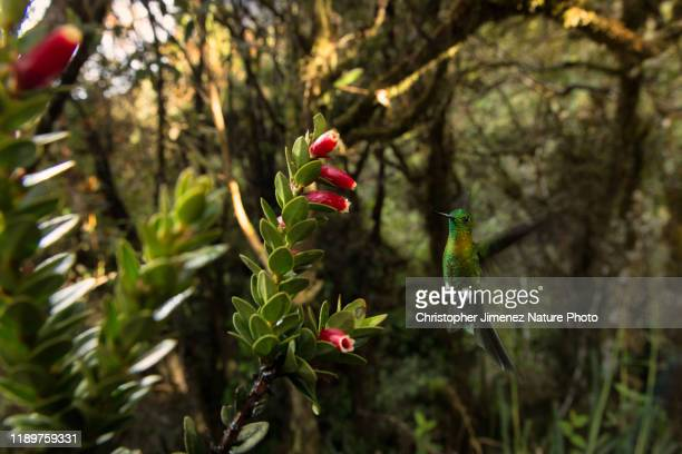 hummingbird visiting flowers in colombia - christopher jimenez nature photo stock pictures, royalty-free photos & images