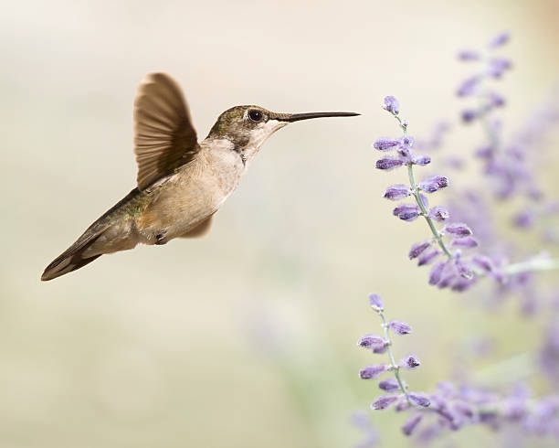 Hummingbird with purple flowers