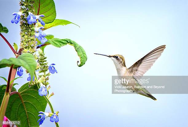 Hummingbird with Wings in Air Against Blue Sky