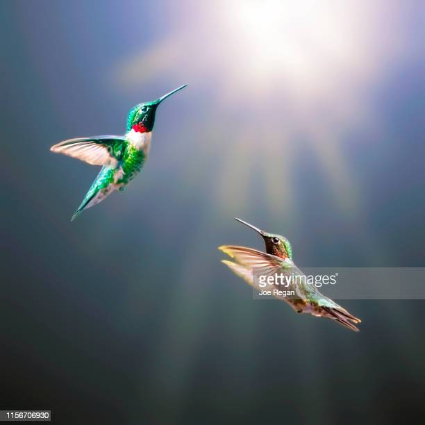 hummingbirds in flight - emerald green stock pictures, royalty-free photos & images