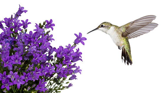 hummingbirds positioned over a purple bellfower 622988306