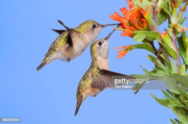 Hummingbirds, Rufous, Females, Canada