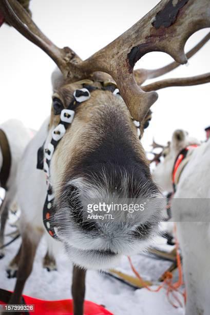 Humorous reindeer