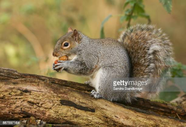 a humorous shot of a cute grey squirrel (scirius carolinensis) trying to carry two nuts one in its mouth and one in its paws sitting on a log. - リス ストックフォトと画像