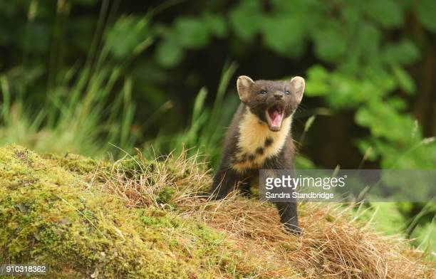 a humorous shot of a pine marten (martes martes) standing on a mossy mound with its mouth wide open showing its teeth and tongue. - pine marten stock pictures, royalty-free photos & images