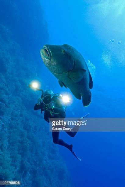 hump head wrasse, napoleon fish (cheilinus undulatus) egypt, red sea - メガネモチノウオ ストックフォトと画像