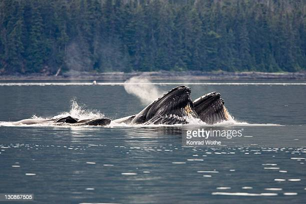 Humpack Whales bubble net feeding (Megaptera novaeangliae), Baleen Whales, Inside Passage, Alaska, USA