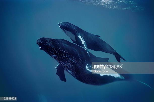 humpback and calf - calf stock pictures, royalty-free photos & images