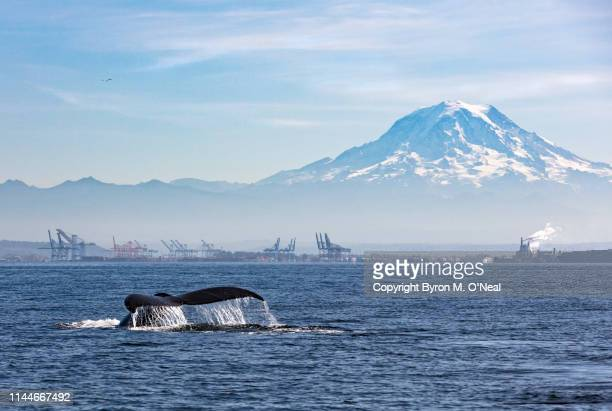 humpback and mount rainier - puget sound stock pictures, royalty-free photos & images