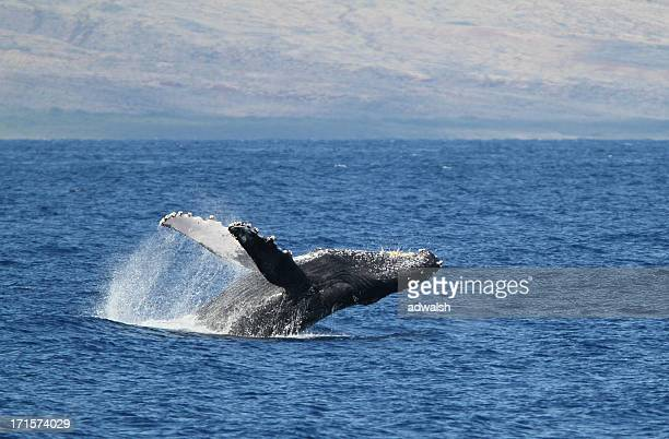 humpback breach - lanai stock photos and pictures