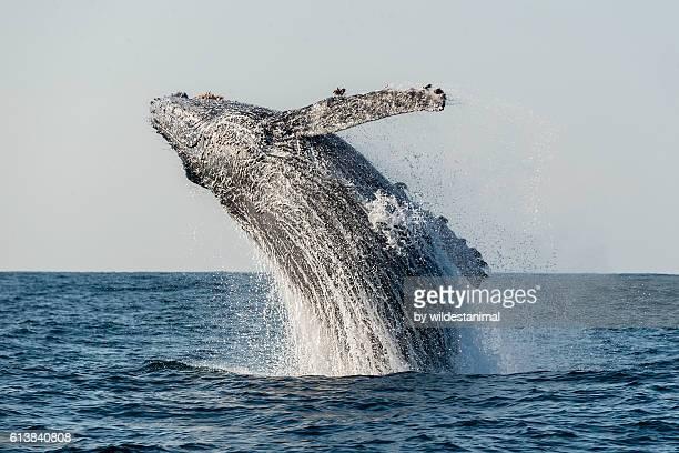 humpback breach - 束ねる ストックフォトと画像