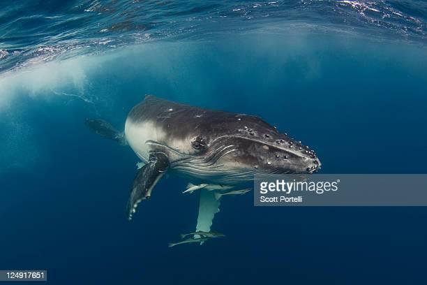 Humpback calf in Tonga