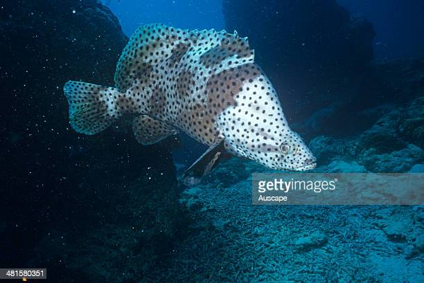 Humpback grouper Chromileptes altivelis grows to 70 cm Southern Queensland Australia