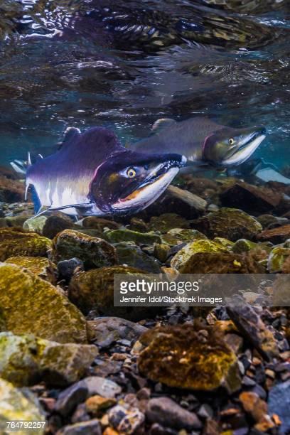 humpback salmon returning, resurrection bay, alaska. - golfo do alasca imagens e fotografias de stock