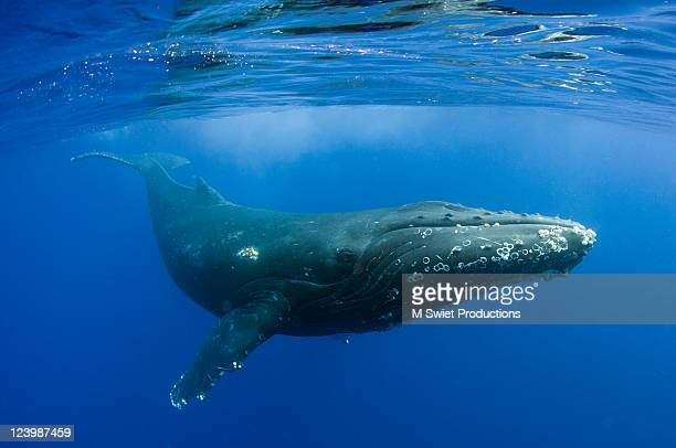 Humpback swimming