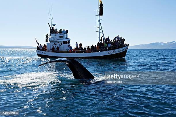 Humpback whale and boat Húsavik Iceland