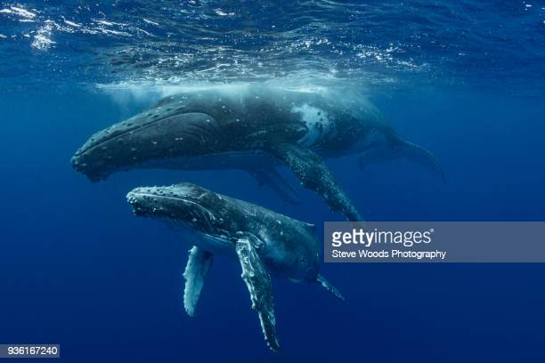 humpback whale (megaptera novaeangliae) and calf in the waters of tonga - animal family stock pictures, royalty-free photos & images