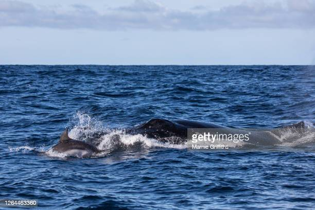 humpback whale and dolphin - humpback dolphin stock pictures, royalty-free photos & images