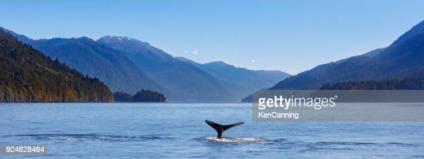 humpback whale and the pacific northwest coast - wildlife stock pictures, royalty-free photos & images