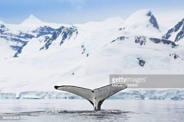 humpback whale at dorian bay, antarctica - 南極大陸探検 ストックフォトと画像