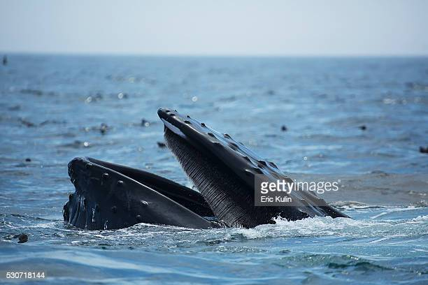 humpback whale (megaptera novaeangliae) at the surface of the water; massachusetts, usa - animal mouth stock pictures, royalty-free photos & images