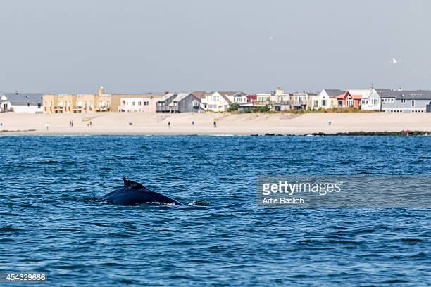 A humpback whale between feedings shows its dorsal fin September 18 2013 in Long Beach New York