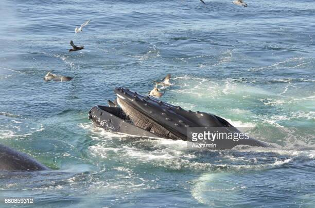 humpback whale - boston - new england - usa - wasser stock pictures, royalty-free photos & images