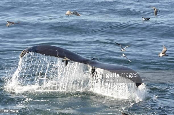 humpback whale - boston - new england - usa - amerikanische kontinente und regionen stock photos and pictures