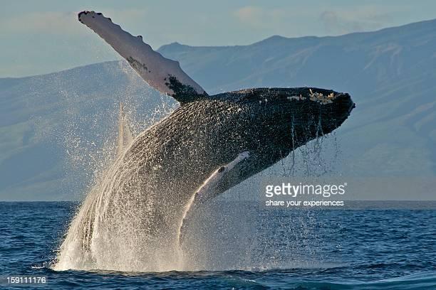 Humpback Whale Breach 2009-01-31 at 16-26-36