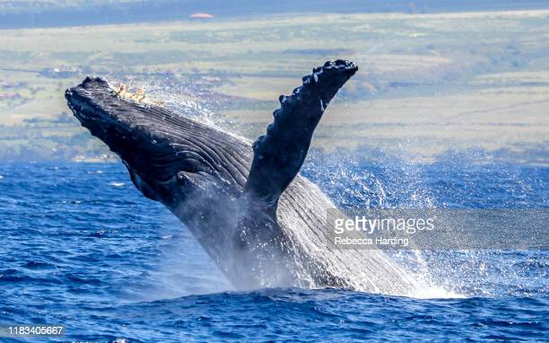 humpback whale breach - lahaina stock pictures, royalty-free photos & images