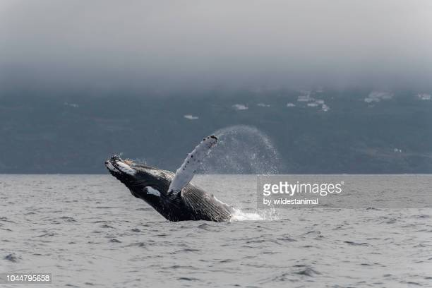 Humpback whale breach with Pico Island in the background.
