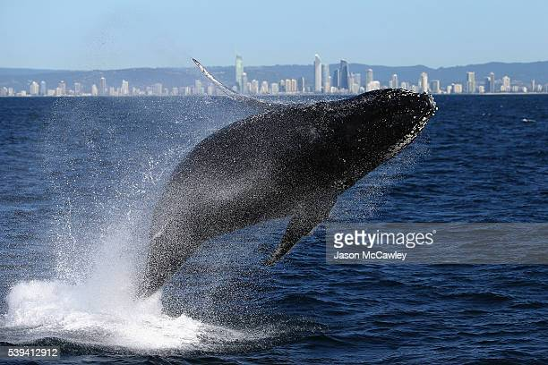 Humpback whale breaches on June 9, 2016 in Gold Coast, Australia. Whale sightings along Australia's east coast are common during the months of...