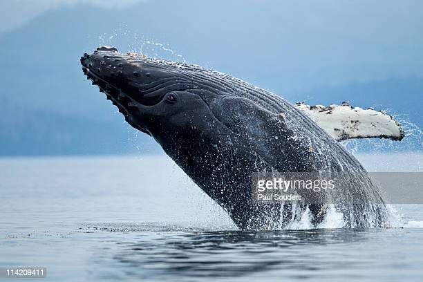 Humpback Whale Breaching, Alaska