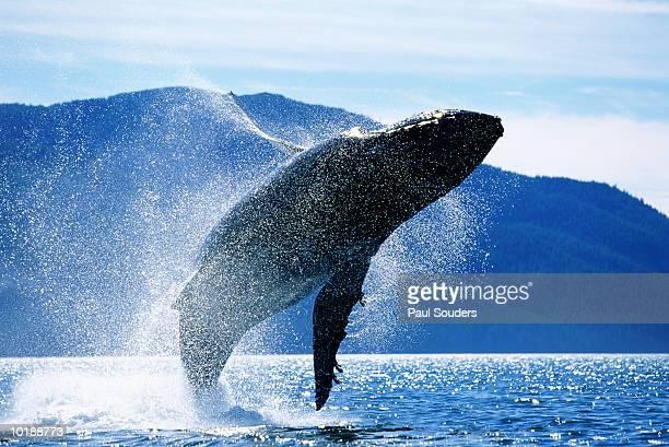 humpback whale (megaptera novaeangliae)  breaching, alaska, usa - クジラ ストックフォトと画像