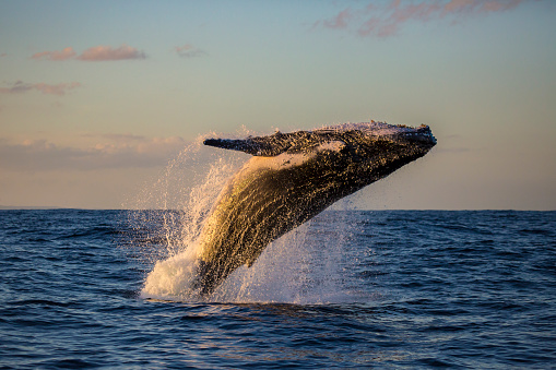 Humpback Whale Breaching at Sunset 891200678