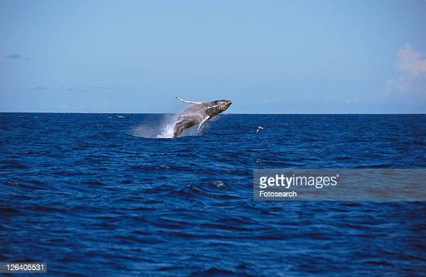 humpback whale (megaptera novaeangliae) breaching. azores - blue whale stock pictures, royalty-free photos & images