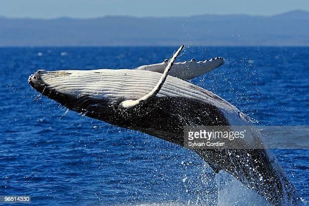 Humpback whale breaching - close-up