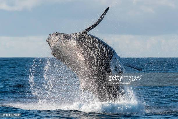 humpback whale breaching during the annual migration of these whales north to the warmer waters of mozambique. - annual event stock pictures, royalty-free photos & images