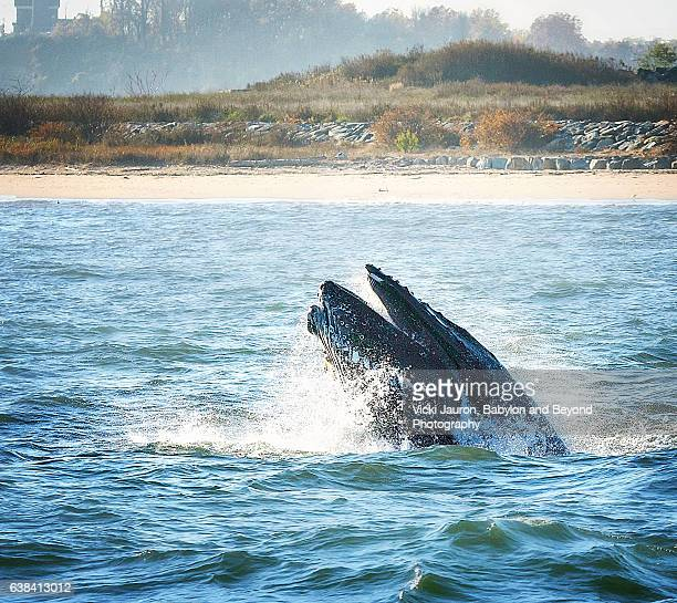 Humpback Whale Breaching for a Bite