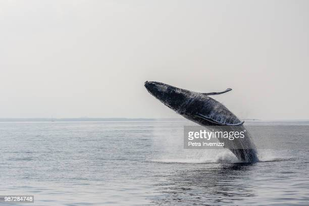 a humpback whale breaching in hawaii, usa. - petra invernizzi foto e immagini stock