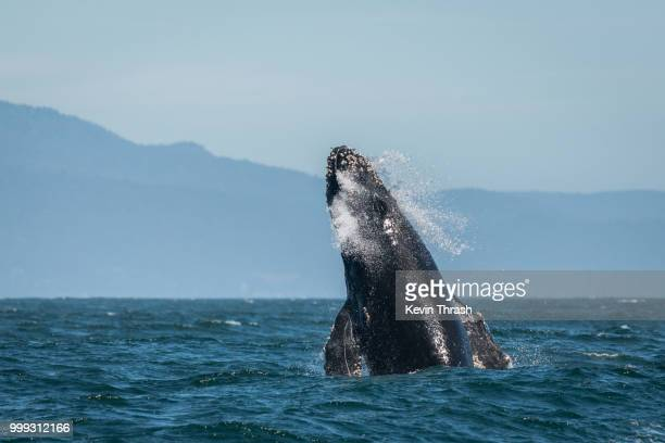 Humpback Whale Breaching in Monterey Bay