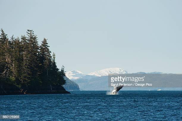 Humpback whale (Megaptera novaeangliae) breaching in Prince William Sound